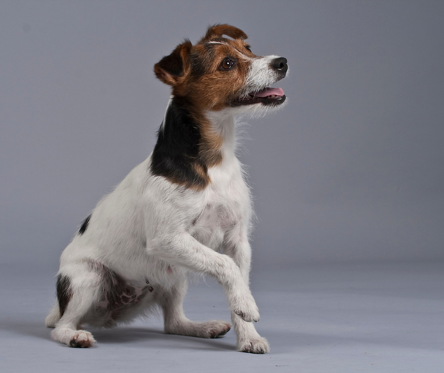 Happy Jack Russell Terrier sitting with one paw raised and mouth open