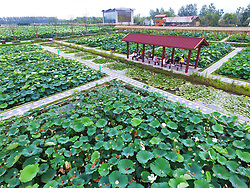 July 3, 2017 - Nanjing, Nanjing, China - Nanjing, CHINA-July 3 2017: (EDITORIAL USE ONLY. CHINA OUT)...Lotus flowers blossom at a large pond in Nanjing, east China's Jiangsu Province, July 3rd, 2017. (Credit Image: © SIPA Asia via ZUMA Wire)