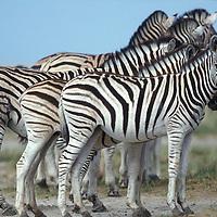 Namibia, Etosha National Park, Plains Zebra herd in desert (Equus burchelli)