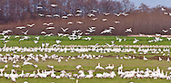 Wintering Snow Geese (Chen caerulescens) rest on Fir Island in the Skagit River delta at Puget Sound, Washington, USA. snowgeese, snowgoose, birds in flight, aves, snow geese, snow goose