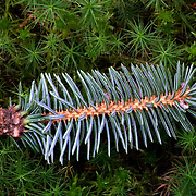 Pine branch closeup in moss