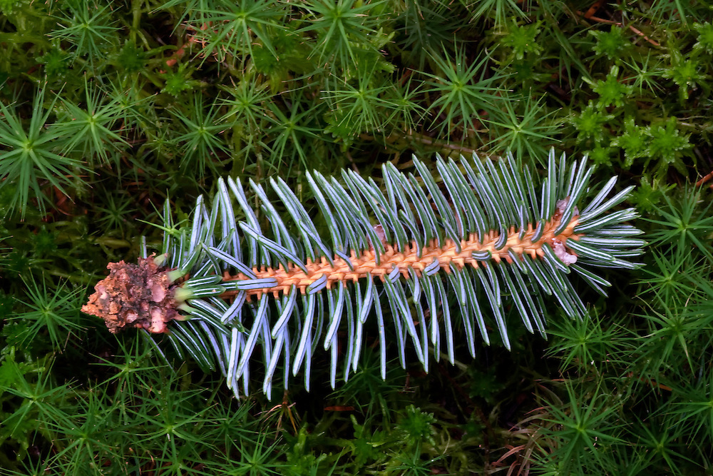 Pine branch closeup in moss