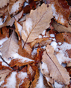 Leaves of Chestnut Oak, Quercus prinus, with dusting of corn snow, eastern summit of Droop Mountain, Beartown State Park, West Virginia.