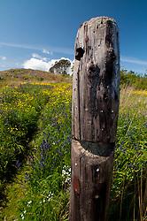 Old Tree Snag, Yellow Island, San Juan Islands, Washington, US