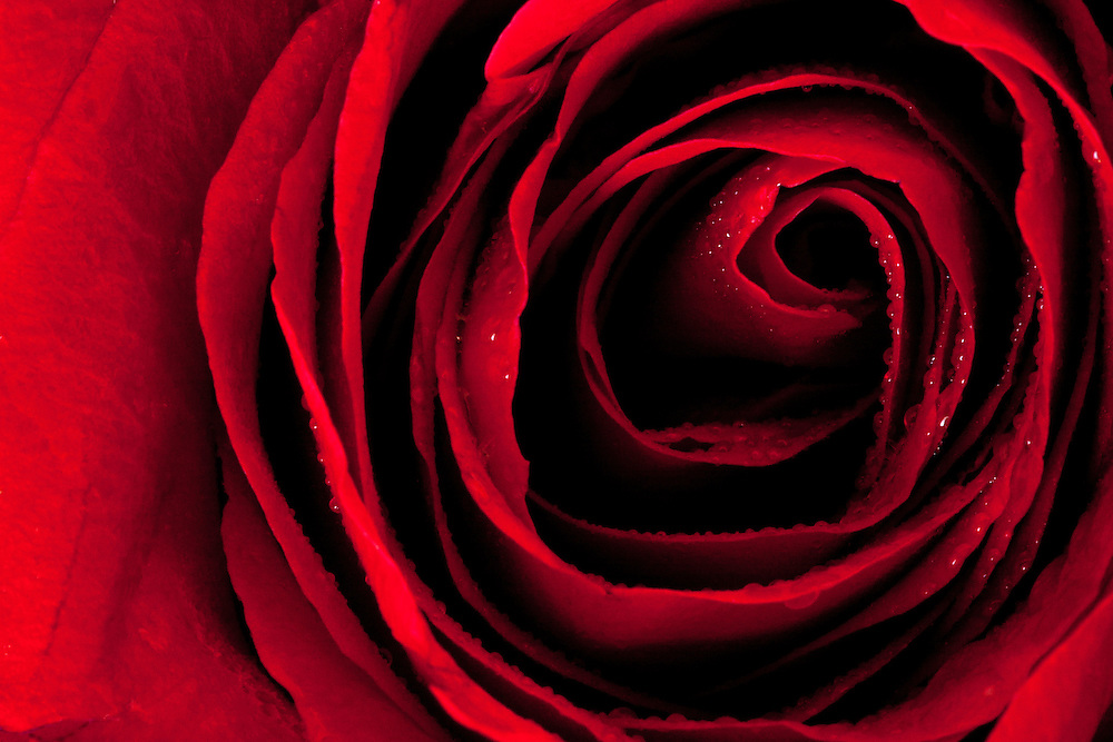Close up of a red rose with shadows enhanced for a nice fine art black and red image.  Water dops on flower as an added element.