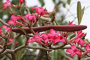 Africa, Ethiopia,Oromia Region, Bale Mountains, Flowering Desert Rose (Adenium obesum),