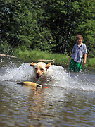 Teenaged boy trainng a young Yellow Lab in shallow water using a retrieving dummy