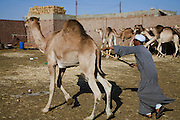 Camel broker Saleh Abdul Fadlallah drives a camel at the Birqash Camel Market outside Cairo, Egypt, where camel broker Saleh Abdul Fadlallah works. (Saleh Abdul Fadlallah is featured in the book What I Eat: Around the World in 80 Diets.) Domesticated since 2000 BC, camels are used less as beasts of burden now, and more for their meat. Because they can run up to 40 miles per hour for short bursts, dealers hobble one leg when they are unloaded at the Birqash market. They are marked with painted symbols to make them easier for buyers and sellers to identify. Both brokers and camels have a reputation for being surly, and the brokers don't hesitate to flail the camels with their long sticks to maintain their dominance. MODEL RELEASED.