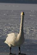 Whooper swan, Cygnus cygnus, standing on ice, lake Kussharo-ko, Hokkaido Island, Japan, japanese, Asian, wilderness, wild, untamed, ornithology, snow, graceful, majestic, aquatic.
