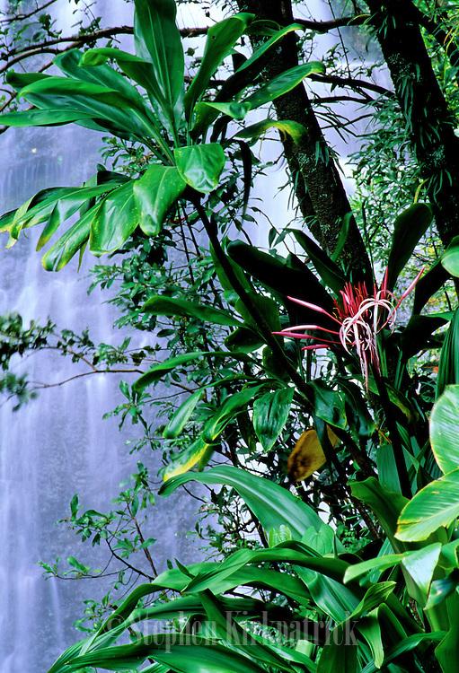 Sumatran Lily in front of waterfall near Hana, Maui - Hawaii.