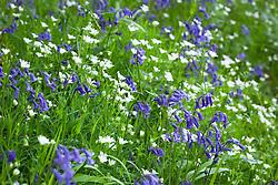 Bluebells and Stitchwort. Hyacinthoides non-scriptus, Stellaria holostea