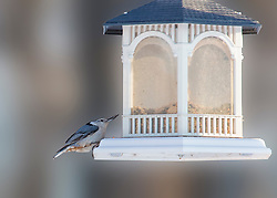 A White-Breasted Nuthatch Lands On The Gazebo Bird Feeder To Grab Some Sunflower Seeds