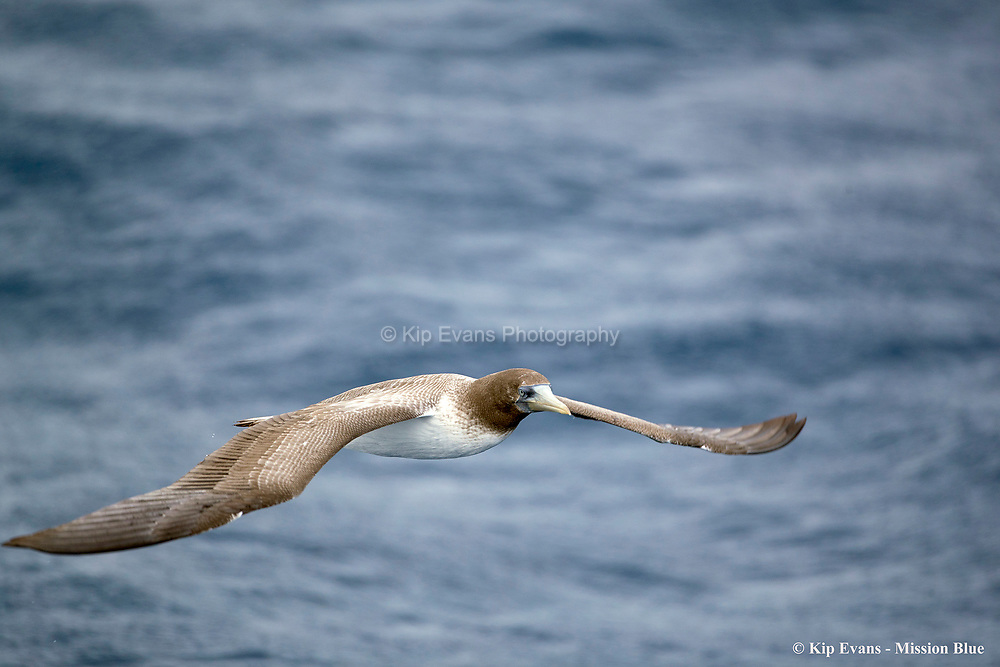 Booby in Flight, Darwin Island, Galapagos National Park