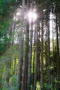 The sun shines through the trees of a forest. Photographed in Tirol, Austria