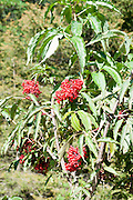 Close up of the red berries of rowan or mountain-ash tree (Sorbus aucuparia) Photographed in Tyrol, Austria