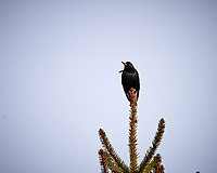 European Starling. Image taken with a Nikon Df camera and 600 mm f/4 VR lens (ISO 100, 600 mm, f/8, 1/640 sec).