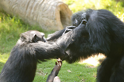 Chimpanzees Fighting, Los Angeles Zoo