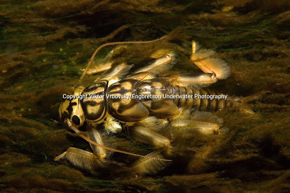 Stonefly<br /> <br /> Viktor Vrbovsky/Engbretson Underwater Photography