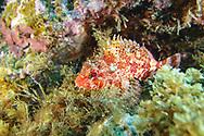 Red scorpionfish-Rascasse rouge (Scorpaena Notata), Pico Island, Azores Archipelago.