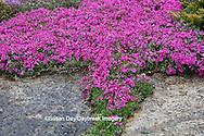 65021-034.09 Moss Phlox (Phlox subulata) in garden,  MO