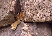 Sleeping lioness Serengeti National Park Tanzania