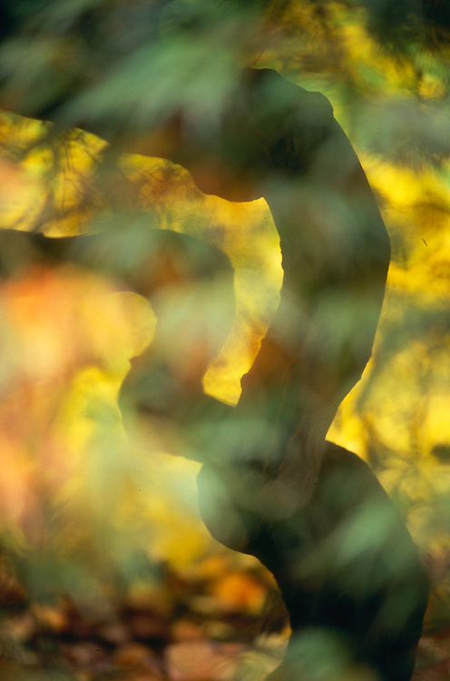 Laceleaf maple, autumn, Washington Park Arboretum, Seattle, Washington, USA