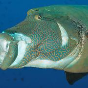 Napoleon wrasse (Cheilinus undulatus) with its mouth open. Photographed at Blue Corner, Palau.