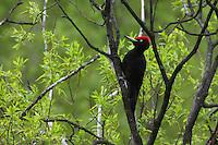 Black Woodpecker (Dryocopus martius), the Carpathians; Carpathian Mountains; Bieszczady Mountains; Poland