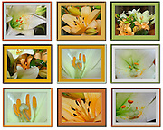 9 image collage of lillies