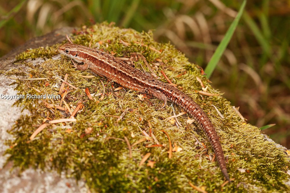 Three-quarter side view of a female common lizard on a moss covered rock.