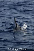 Hawaiian spinner dolphin or Gray's spinner dolphin, Stenella longirostris longirostris, spyhopping, Kona, Hawaii ( the Big Island ), USA ( Central Pacific Ocean )