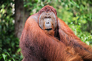 A dominant flanged male orangutan (Pongo pymaeus) looking over his shoulder with concerned expression, Tanjung Puting National Park, Central Kalimantan, Borneo, Indonesia