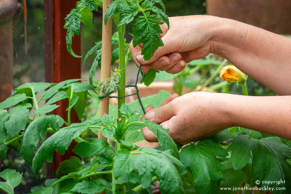 Tying in tomatoes in a greenhouse with garden twine and a cane