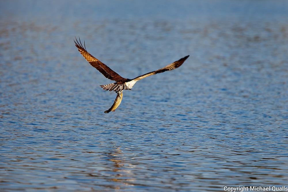 Osprey - back to the nest with prey