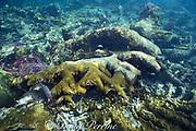 broken elkhorn coral, Acropora palmata,<br /> smashed during Hurricane Gilbert in 1988,<br /> Puerto Morelos, Yucatan Peninsula, Mexico<br /> ( Caribbean Sea )