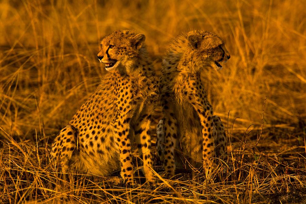 One and a half year old cheetah cubs, Masai Mara National Reserve, Kenya