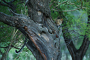 Leopard  (Panthera pardus) in Tree<br /> Marakele Private Reserve, Waterberg Biosphere Reserve<br /> Limpopo Province<br /> SOUTH AFRICA<br /> RANGE: Throughout Sub-Saharan Africa except interior of South Africa. Also in Asia.