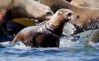 A young California sea lion (Zalophus californianus) entangled by a gill net around its neck in Kino Bay, Mexico.