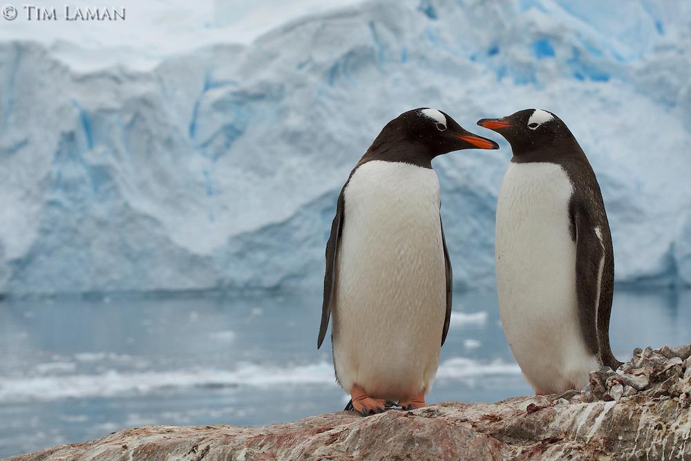 Gentoo Penguins (Pygoscelis papua) in Neko Harbor, Andvord Bay.