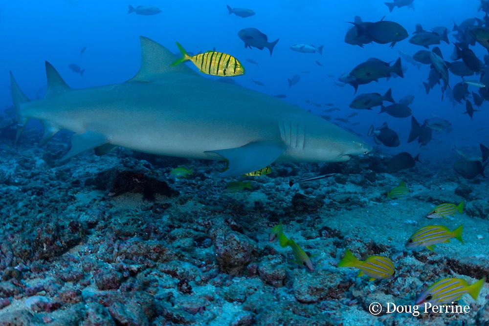 sicklefin lemon shark, Negaprion acutidens, accompanied by juvenile golden trevallies, Gnathanodon speciosus, Shark Reef Marine Reserve, Beqa Passage, Viti Levu, Fiji ( South Pacific Ocean )
