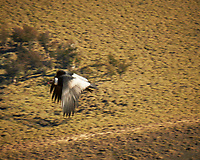 Andean Condor in flight. Torres de Paine, Amarga, Magallanes, Chile. Image taken with a Fuji X-T1 camera and 55-200 mm VR lens (ISO 200, 200 mm, f/11, 1/125 sec).