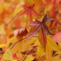 """""""Sweetgum in Fall""""<br /> <br /> Gorgeous colorful Sweetgum leaves in autumn!"""