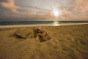 Female Loggerhead Sea Turtle (Caretta caretta) nesting in Juno Beach; FL. Southeast Florida is one of the most important nesting and foraging locations for Loggerheads worldwide.