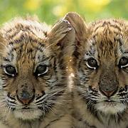 Bengal Tiger, (Panthera tigris) Pair of cubs. Captive Animal.