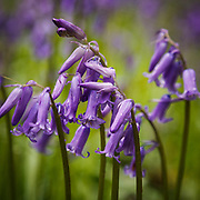 Spring and English bluebells