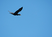 Double-crested Cormorant, Phalacrocorax auritus, flying over the San Francisco Bay at Cesar Chavez Park, Berkeley, California