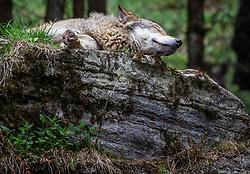 THEMENBILD - ein schlafender Wolf (Canis lupus) im Wildpark Ferleiten, aufgenommen am 29. April 2018 in Taxenbacher-Fusch, Österreich // a sleeping wolf (Canis lupus) at the Wildlife Park, Taxenbacher-Fusch, Austria on 2018/04/29. EXPA Pictures © 2018, PhotoCredit: EXPA/ Stefanie Oberhauser
