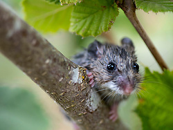 August 6, 2017 - Roseburg, OREGON, U.S - A Pacific jumping mouse looks out from a hiding spot in a hazelnut tree in an orchard near Roseburg. The mouse was disturbed by watering in the orchard and took to the tree to hide. (Credit Image: © Robin Loznak via ZUMA Wire)