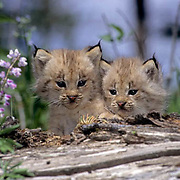 Canada Lynx, (Lynx canadensis) Pair of kittens. Spring. Montana.  Captive Animal.