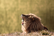 A close up shot of a male lion (Panthera leo) roaring with its mouth wide open.